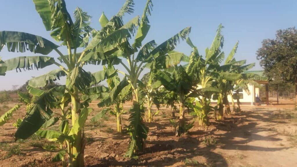 Rozbudowa gospodarstwa rolnego przy szkole w Chamuka (Zambia)
